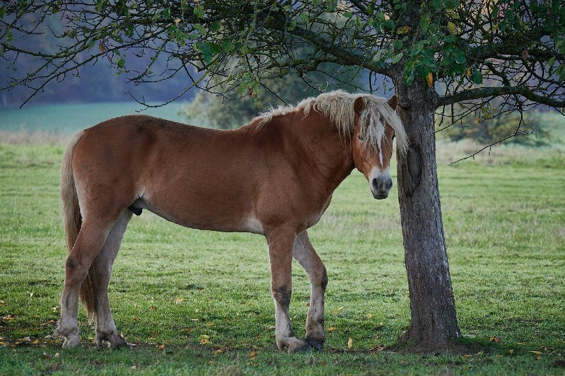 Haflinger horse under the tree