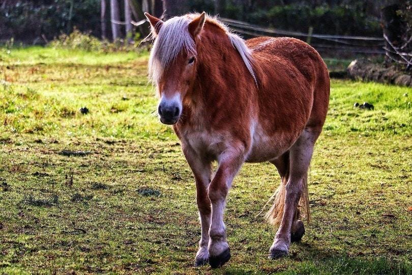 Haflinger horse walking