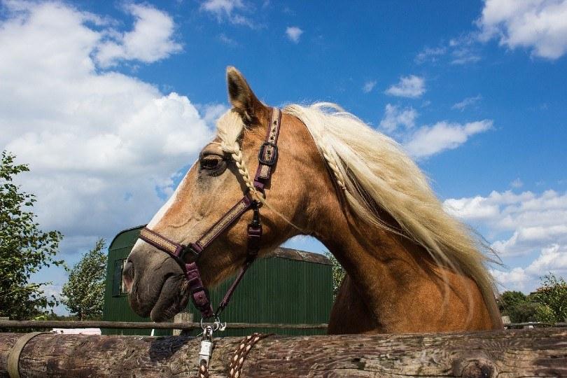 Haflinger horse with braided mane
