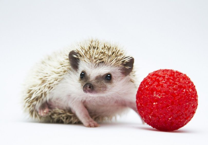Hedgehog-plays-with-red-glittering-ball_best-dog-photo_shutterstock