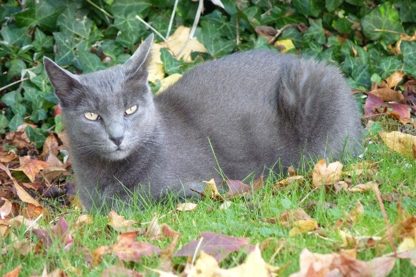 Korat cat lying on the grass
