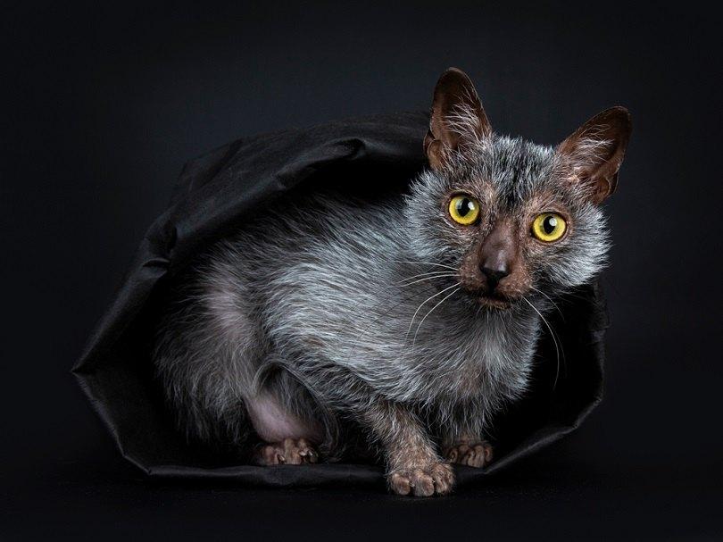 Lykoi-werewolf-cat_Nynke-van-Holten_shutterstock