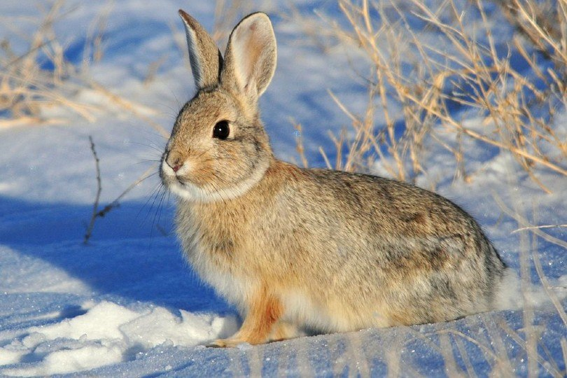 Mountain Cottontail in snow