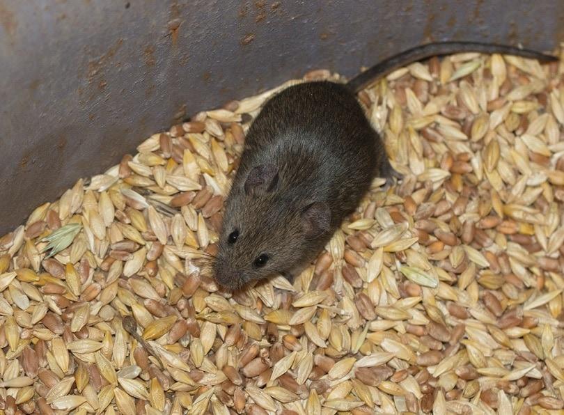 Mouse-in-the-grain_BERNATSKAIA-OKSANA_shutterstock