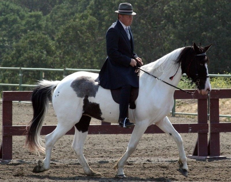 National Spotted Saddle Horse
