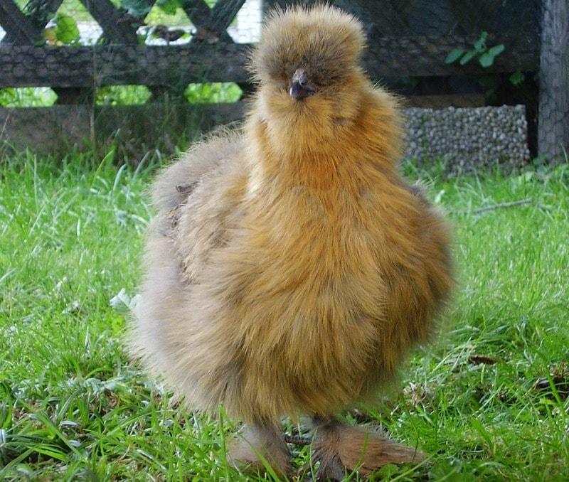 Partridge Silkie Chicken