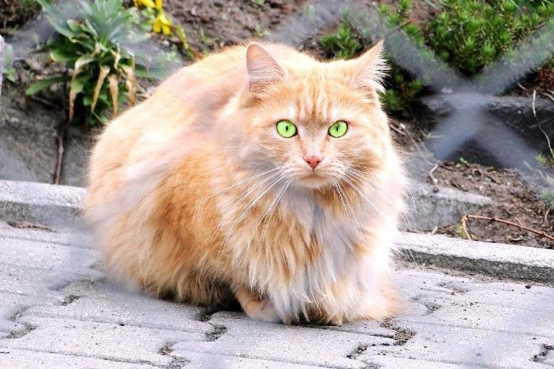 Persian cat lying outdoor