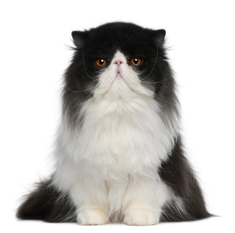 Persian-cat_Eric-Isselee_shutterstcok