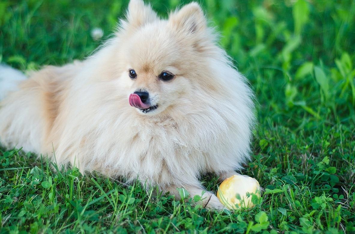 Pomeranian eating pear