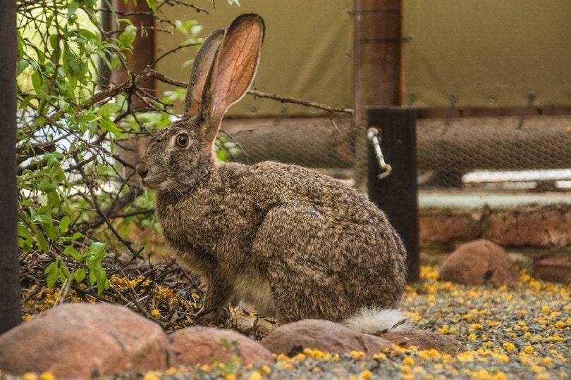 Riverine Rabbit sitting on an outdoor pathway