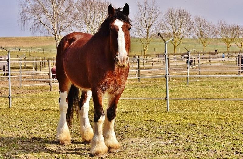 Shire Horse_Alexas_Fotos, Pixabay
