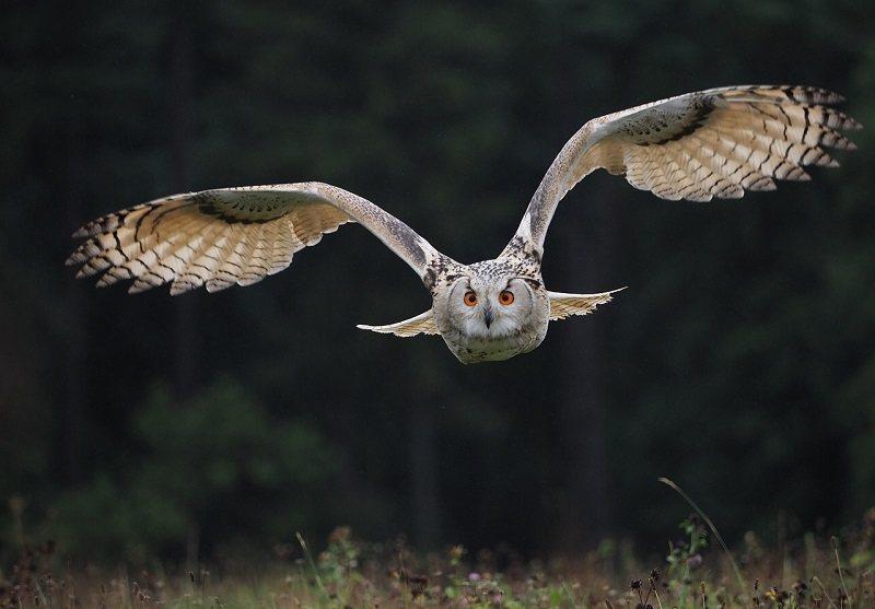 Owl flyling_ElvisCZ, Pixabay