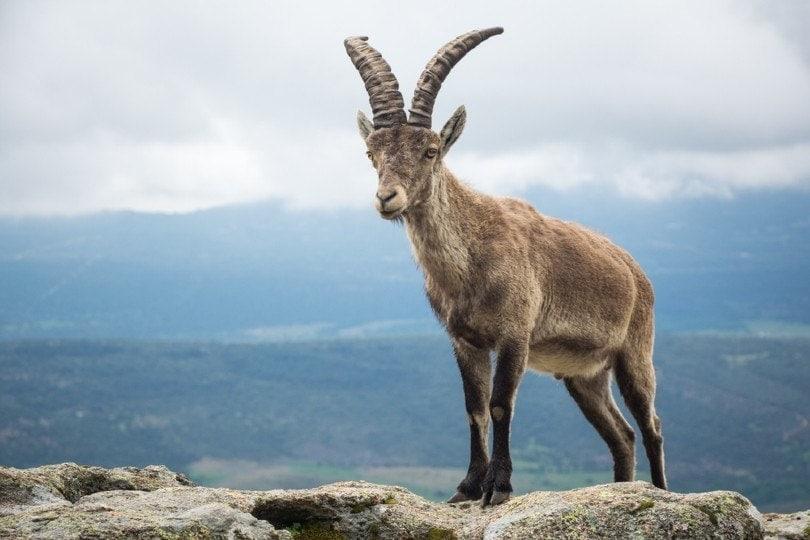 Spanish wild mountain goat