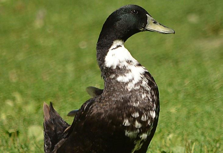 Swedish Blue Duck (Anas platyrhynchos)