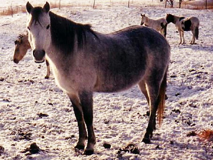The Canadian Rustic Pony