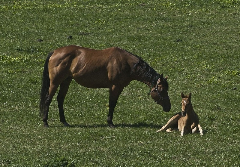 Thoroughbred Mare & Foal