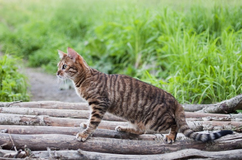 Toyger-cat-outdoors_