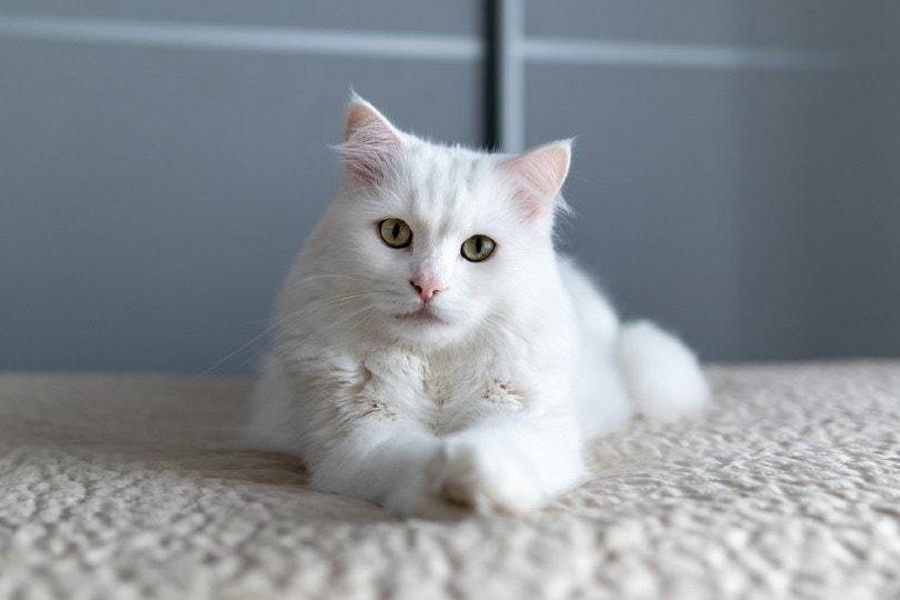 Turkish Angora lying on the carpet