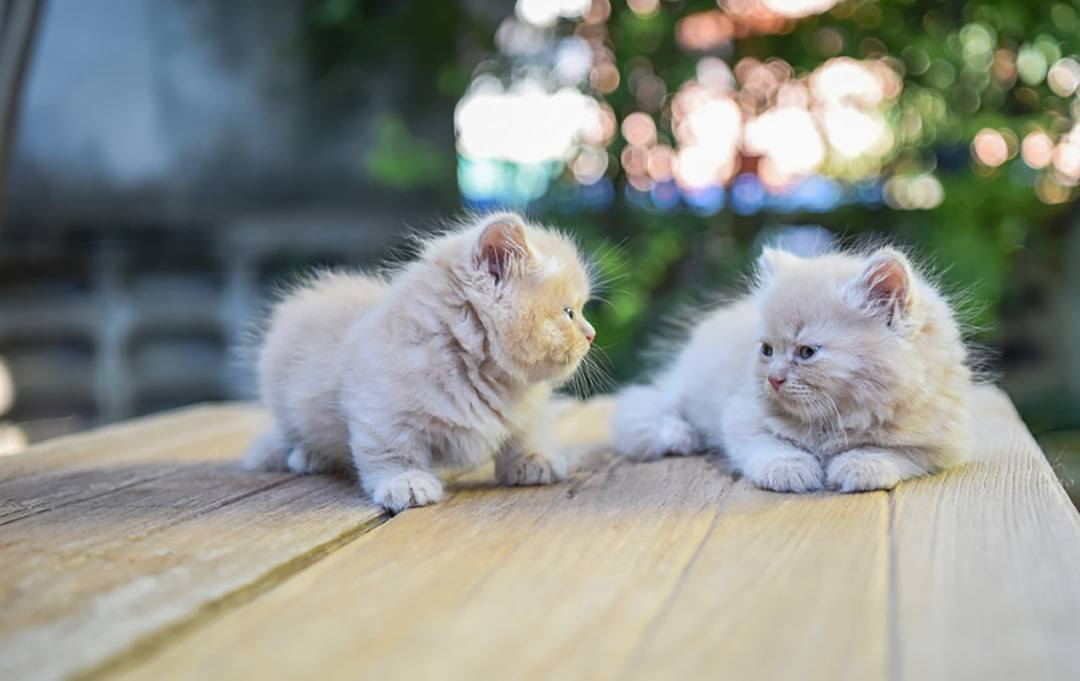 Twin Munchkin Cat