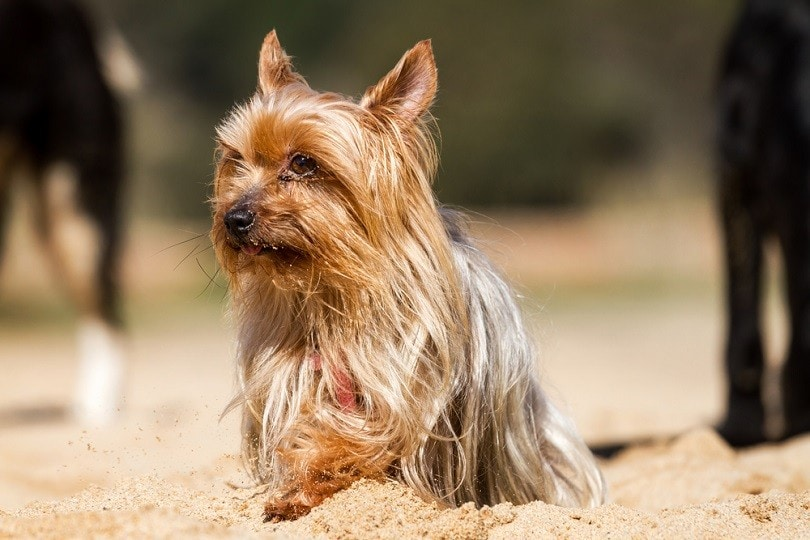 Yorkshire Terrier dog sitting on the sand