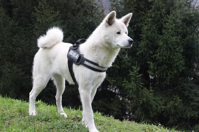 akita standing on the grass
