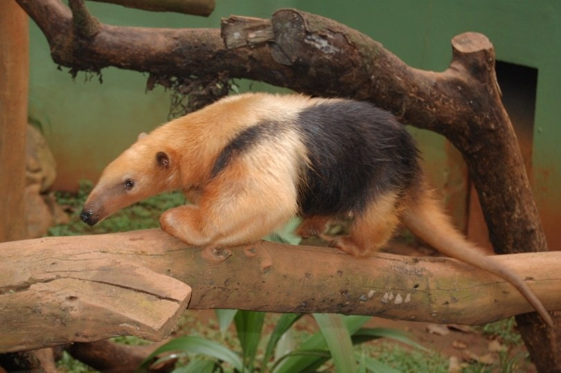 anteater pet_Piqsels