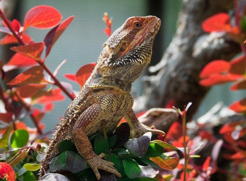 bearded dragon_Snap_it, Pixabay
