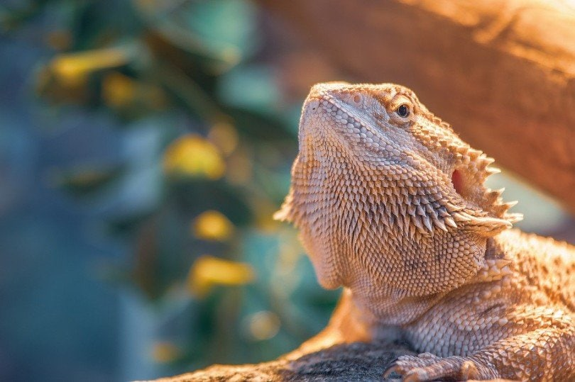 bearded dragon close up