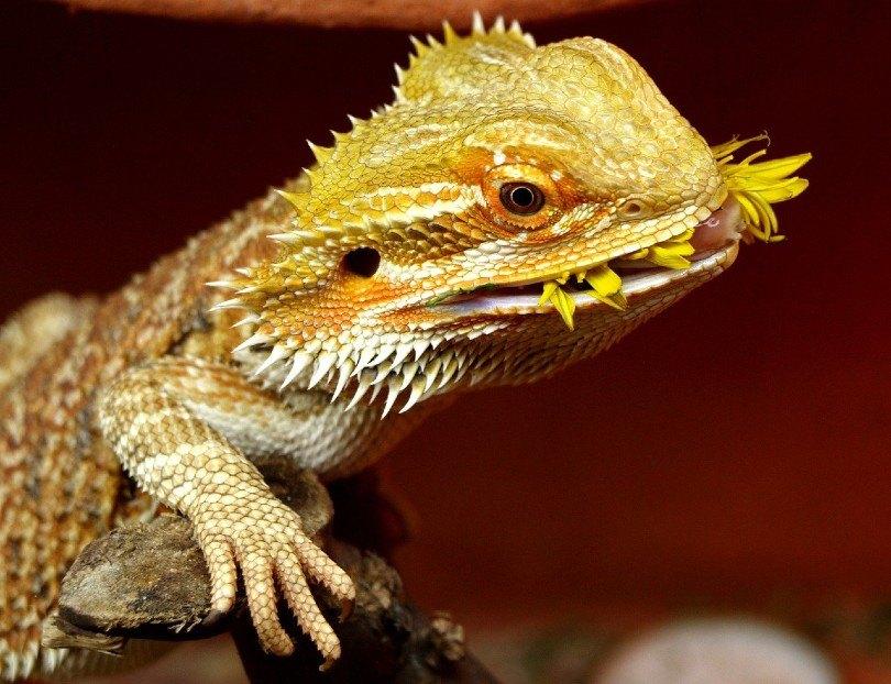 bearded dragon eating dandelion
