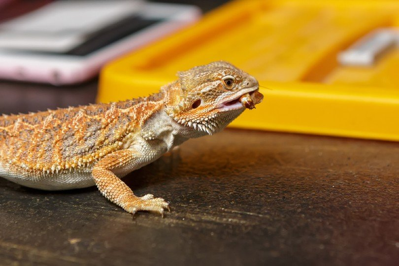 bearded dragon eats insect