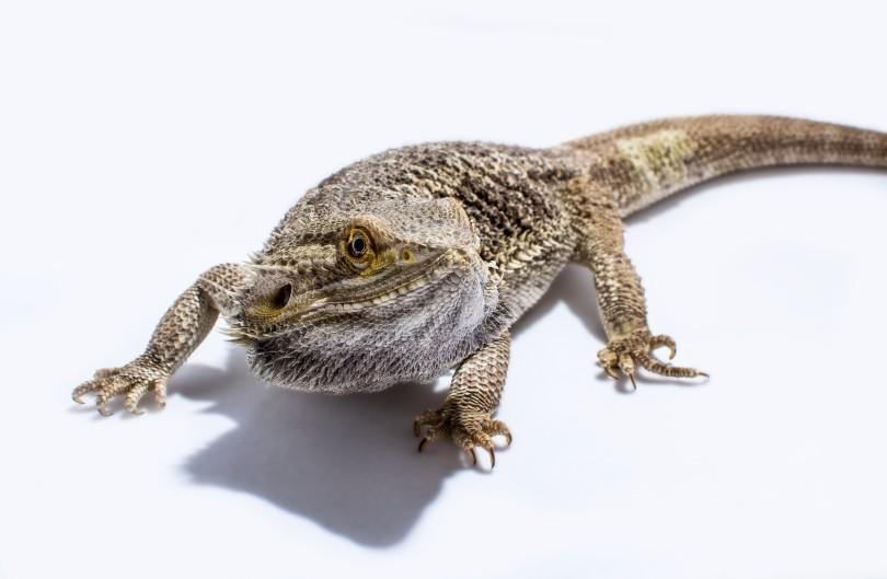 bearded dragon in white background