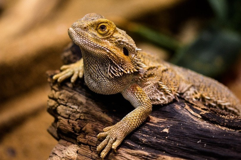 bearded dragon_Gerhard G., Pixabay