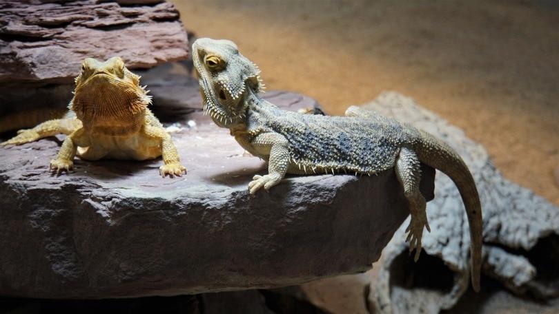 bearded-dragons_Mylene2401_Pixabay