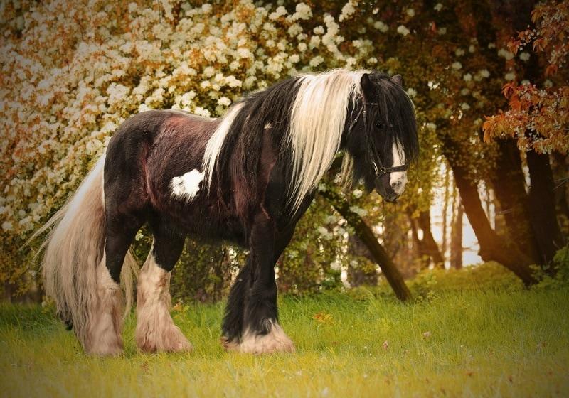 beautiful irish cob horse_Shutterstock_Best dog photo