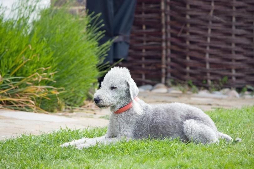 bedlington-terrier_No-longer-here_Pixabay