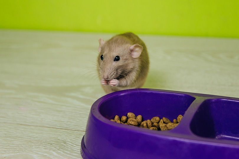 beige-rat-sits-on-food-bowl_VeronArt16_shutterstock