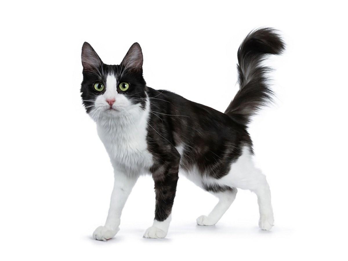 black smoke with white Turkish Angora cat