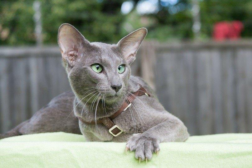 blue oriental shorthair cat