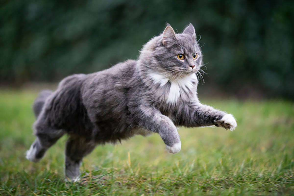 blue tabby maine coon cat