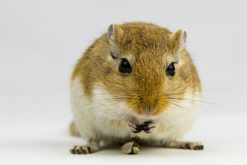 brown-and-white-gerbil-eating-a-pipe_DMegias_shutterstock