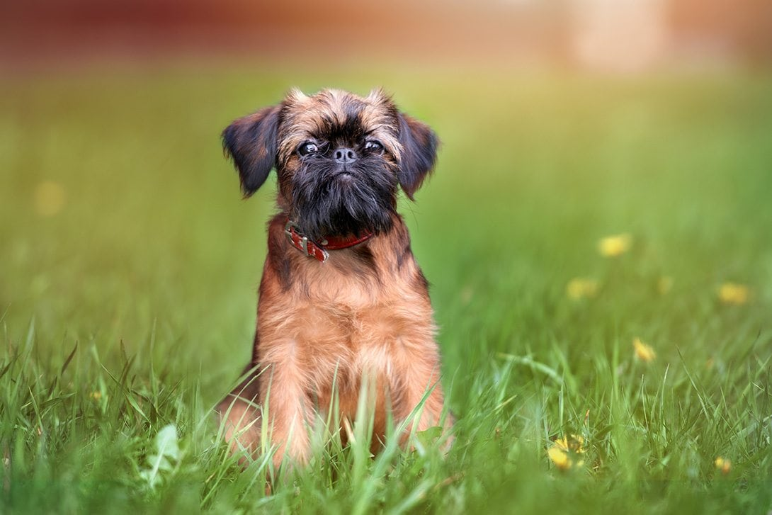 brussels griffon_otsphoto, Shutterstock