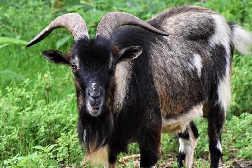 capra goat