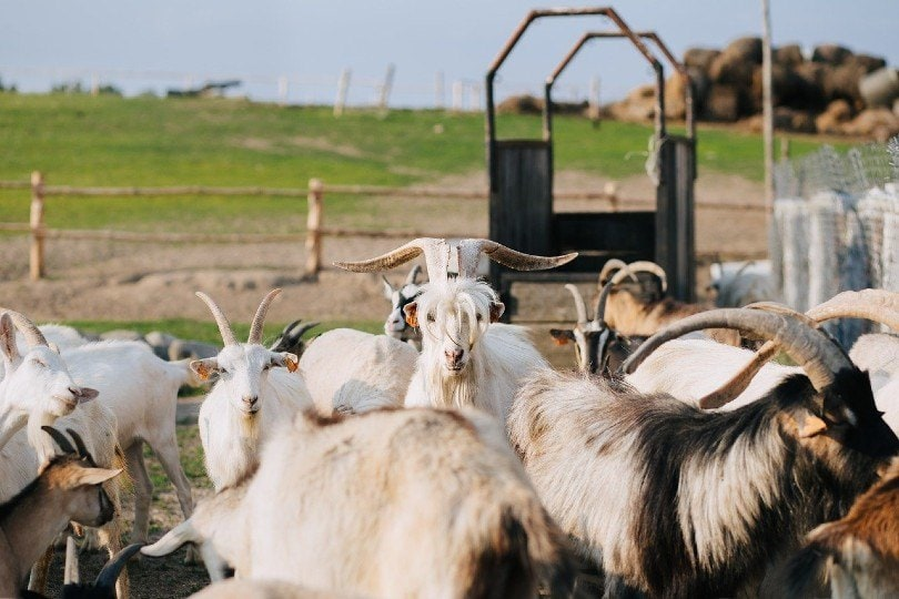 capra goats