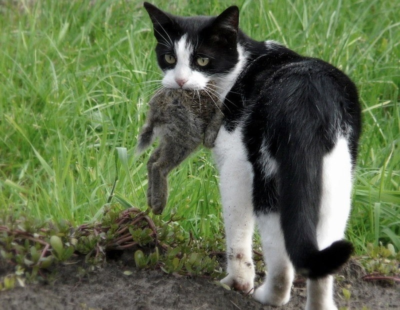 cat eating rabbit