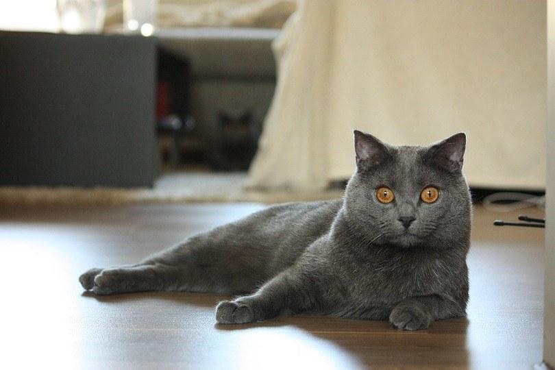 chartreux cat_LucasBouillon, Pixabay