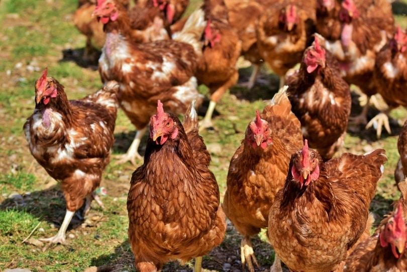 chicken hens_Capri23auto_Pixabay