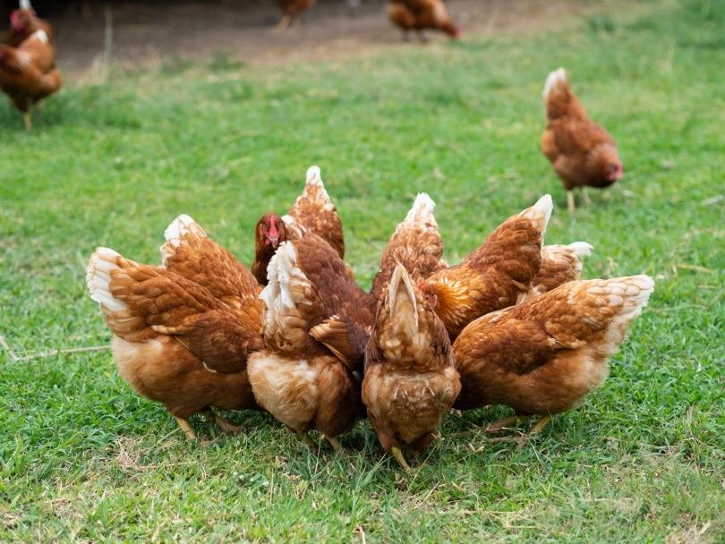 chickens circle_Suriyawut Suriya_Shutterstock