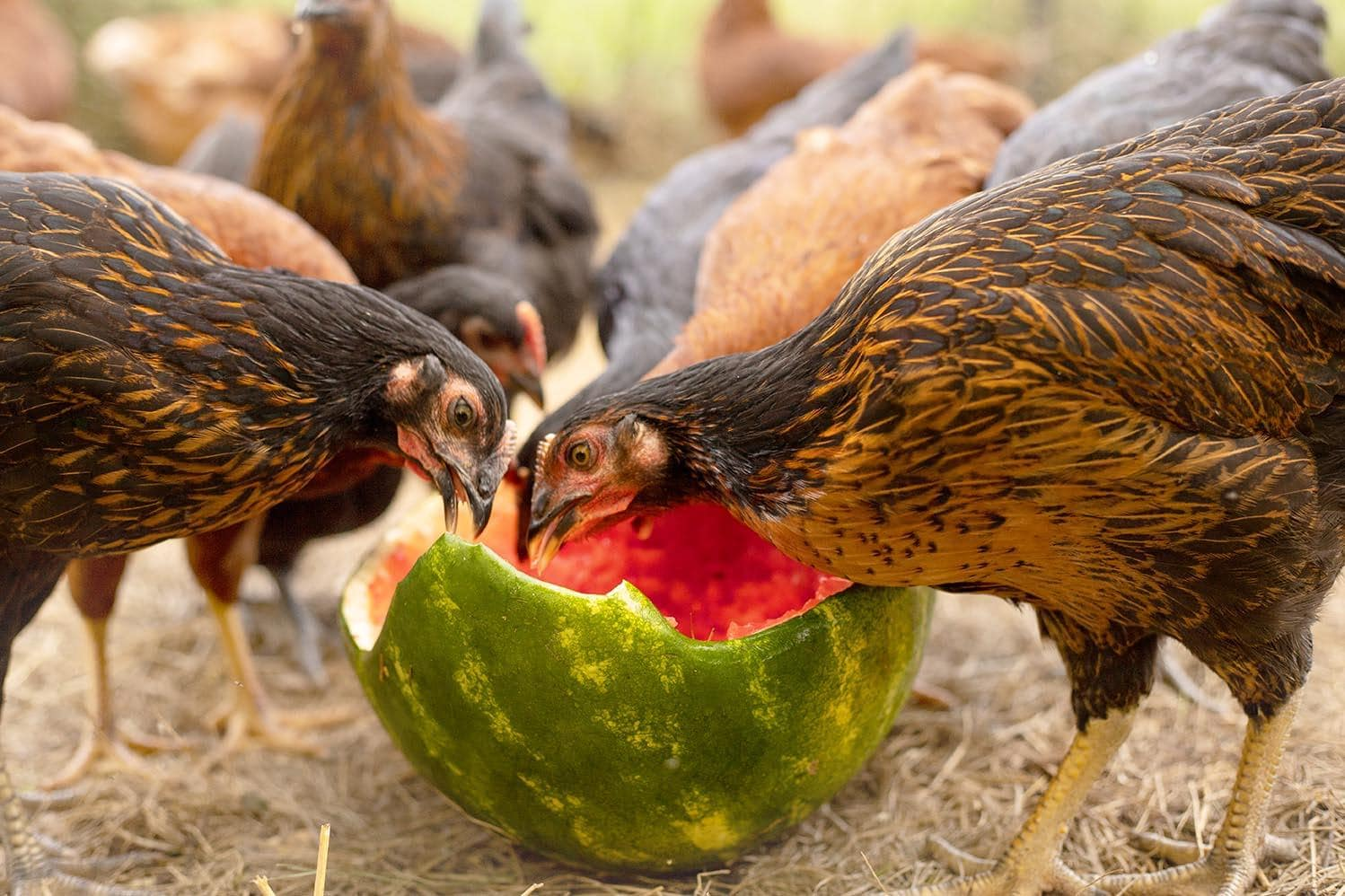 chickens eating watermelon rind