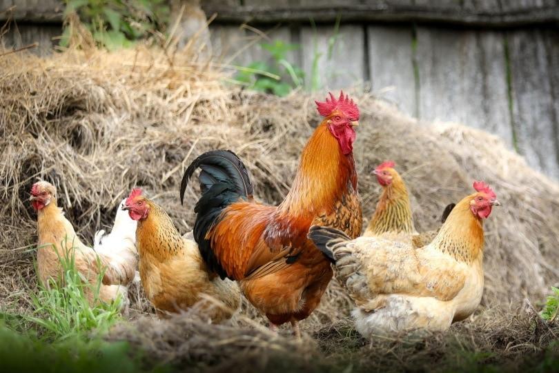 chickens in farm_ piqsels