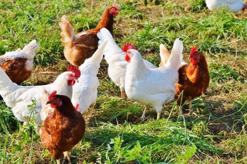 chickens in grass_Piqsels